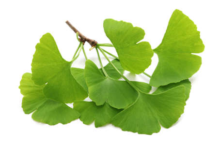 leaf close up: ginkgo biloba leaves isolated on white background Stock Photo