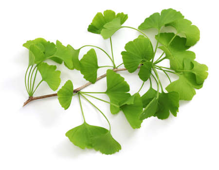 ginkgo biloba leaves isolated on white background Stok Fotoğraf