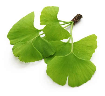 ginkgo biloba leaves isolated on white background Standard-Bild