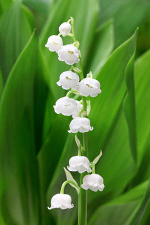 muguet: lily of the valley