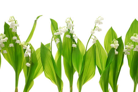 muguet: lily of the valley on white background