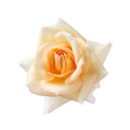 rosas naranjas: de color albaricoque rosa aisladas sobre fondo blanco