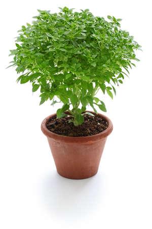 basils: Bush basil, greek basil isolated on white background Stock Photo