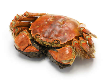 crab: steamed chinese mitten crab, shanghai hairy crab isolated on white background