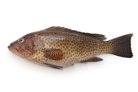 areolate grouper, epinephelus areolatus, yellow-spotted rockcod Фото со стока - 46201362