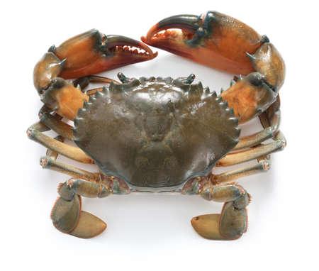 cangrejo: cangrejo de barro masculina aislado sobre fondo blanco Foto de archivo