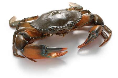 Crabe de boue mâle isolé sur fond blanc Banque d'images - 46668372