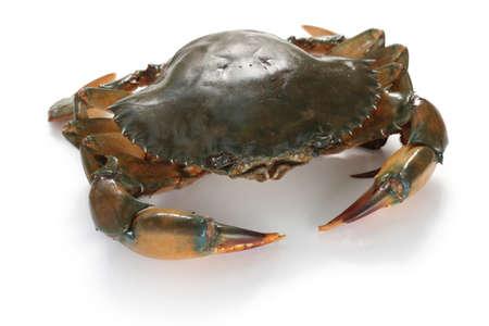 Crabe de boue femme isolé sur fond blanc Banque d'images - 46721023