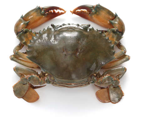crabs: mud crab female isolated on white background