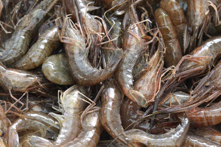 freshwater: Japanese freshwater shrimp, Macrobrachium nipponense
