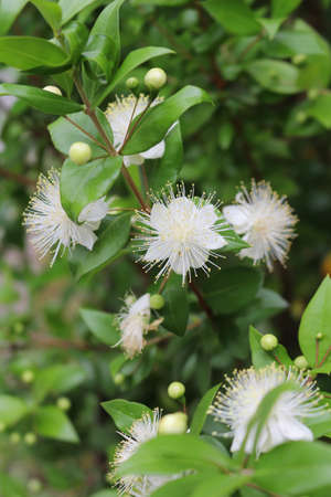 true myrtle: Myrtle, myrtus, myrthen, common myrtle Stock Photo