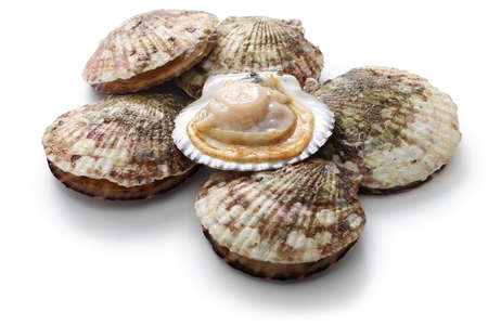 raw scallops, shell opened, close up