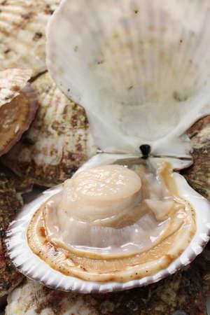 raw scallops, shell opened, close up