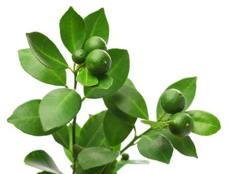 frutas tropicales: calamondin, calamansi en el fondo blanco