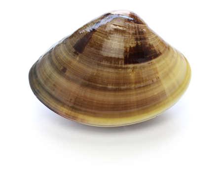 Hamaguri, honhama, japanese clam, common orient clam, meretrix lusoria isolated on white background