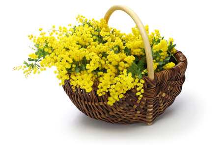 mimosa in the basket isolated on white background Stock Photo