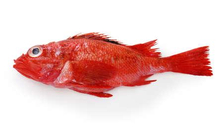 idiot fish, kinki