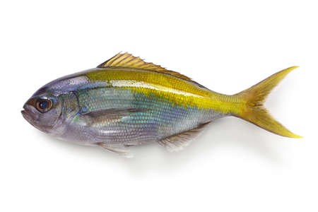 yellowtail blue snapper, paracaesio xanthura