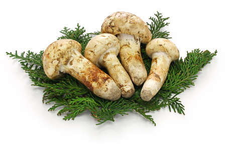 Matsutake mushroom isolated on white