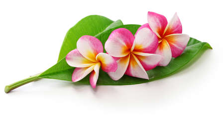 Plumeria flowers and leaves isolated on white