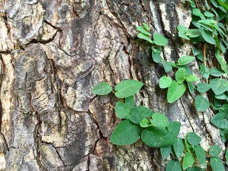 leguminosae: Saman tree creeper