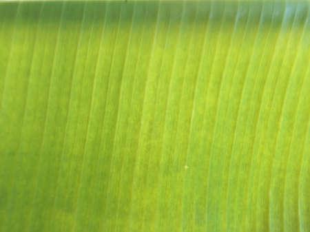 detail: Banana leave Stock Photo