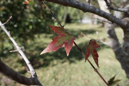 colour: Maple leave