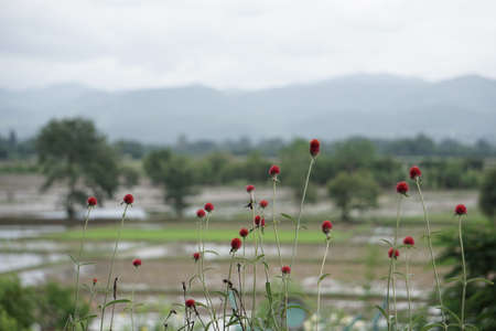 isolated: Red ball flower isolated on rice fields landscape background