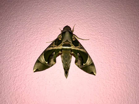 Night butterfly isolated on pink wall background Stock fotó