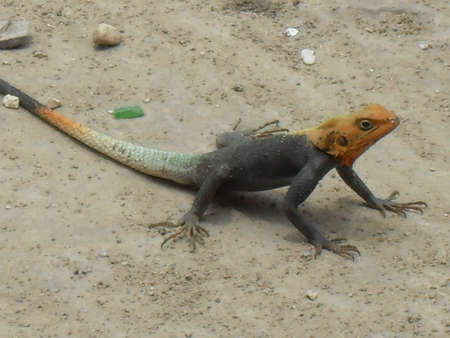 coulorful: Coulorful Lizard in Ghana Africa,