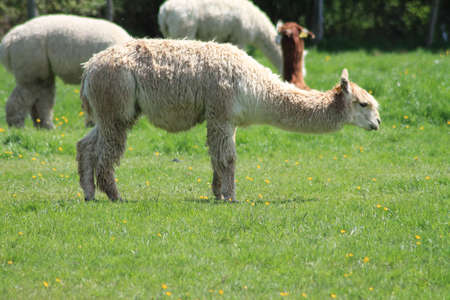 LLamas in a field, Stock Photo - 13617404