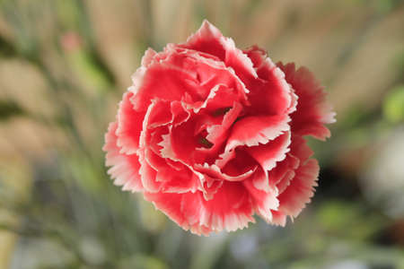 Beautiful Carnation with blurred background  Stock Photo - 13763737