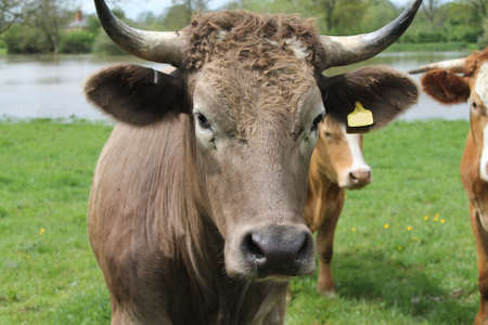 interested: Interested dark brown cow