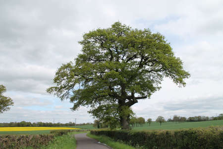 Stand alone old Oak Tree, Stock Photo - 13859480