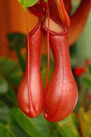 nepenthes: Nepenthes Alata Stock Photo