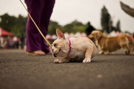 scratching: French Bulldog is Scratching