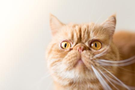 A cute Exotic Shorthair cat Stock Photo