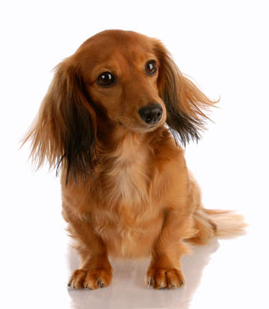 doxie: long haired miniature dachshund sitting with reflection on white background