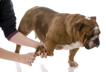 nail scissors: person cutting english bulldog toenails on white background