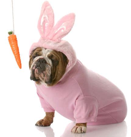 ostern lustig: unbeeindruckt aussehende Englisch Bulldog dressed up as Easter Bunny sitzen neben Karotte baumelt an einer Schnur with Reflection on white background