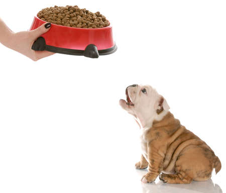 kibble: english bulldog puppy barking in anticipation while waiting to be feed