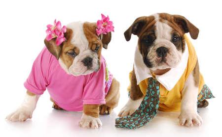 amor adolescente: cachorros de bulldog ingl�s de chica y chico vestido con una reflexi�n sobre fondo blanco  Foto de archivo