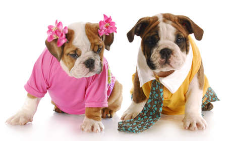 girl and boy english bulldog puppies dressed up with reflection on white background Stock Photo