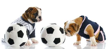 puppy love: dos cachorros de bulldog ingl�s, jugar al f�tbol con la reflexi�n sobre fondo blanco