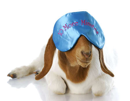 funny costume: counting sheep - funny goat wearing ten more minutes eye mask with reflection on white background Stock Photo