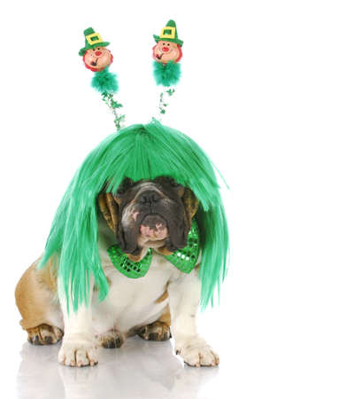 english bulldog wearing st patricks day wig and bowtie with reflection on white background