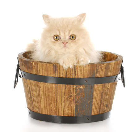 cat grooming: cream persian kitten sitting in wood wash basin looking at viewer with reflection on white background Stock Photo