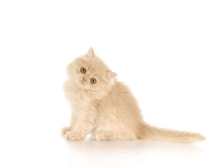 longhair: persian kitten sitting on white background - cream color - 12 weeks old