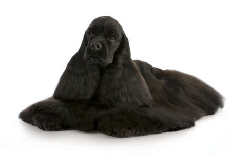 cocker: black american cocker spaniel laying down on white background