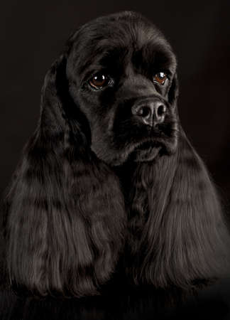 conformation: cocker spaniel head portrait on black background